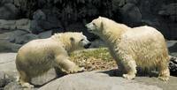 Polar Bears - Sea World on the Gold Coast